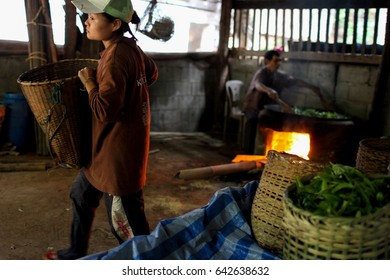 May 14  2017:  young Karen women carry tea leaves in a basket using old machine in Huay Hin Lad Nai village in Chiangmai.