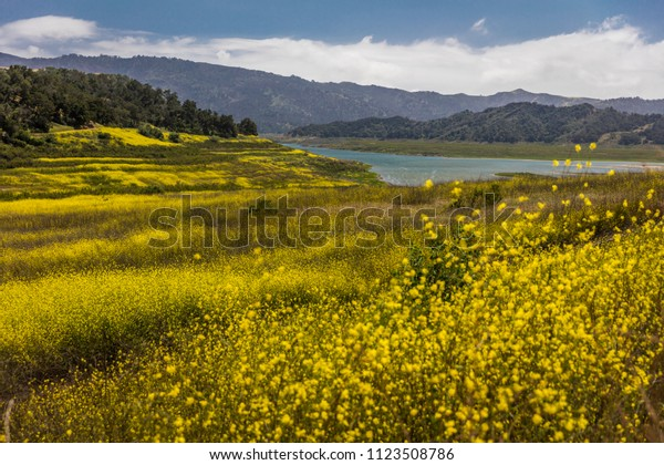 MAY 14, 2018, Ojai, CA, USA - Yellow mustard grows where Lake Casitas used to be - DROUGHT