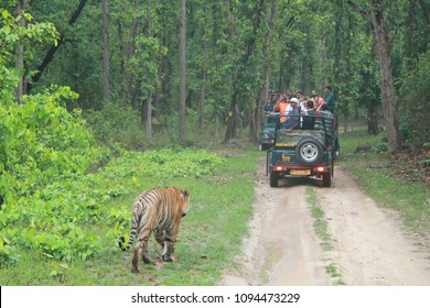 May 20, 2017, Kanha National Park, Madhya Pradesh, India A tiger walks unconcerned by the tourist vehicles inside the park!