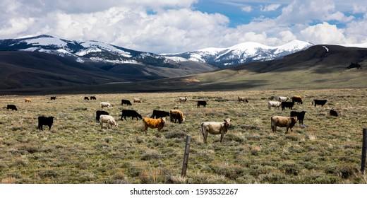 MAY 24 2019, LEMHI PASS, MONTANA, USA - Cattle grazing going up Lemhi Pass, Montana
