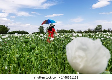 May, 25 2019: Opium poppies with white flowers growing in Afyonkarahisar, Turkey. Woman in red dress.