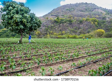 May 26, 2020. Ocoa, Dominican Republic. dramatic image of a field of peppers growing on a farm high in the caribbean mountains of the dominican republic.