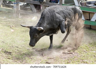 May 28, 2017 Sangolqui, Ecuador: charging bull throwing dust in the air at a rural rodeo