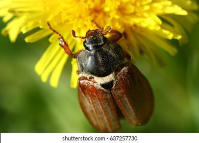 May beetle on a yellow dandelion