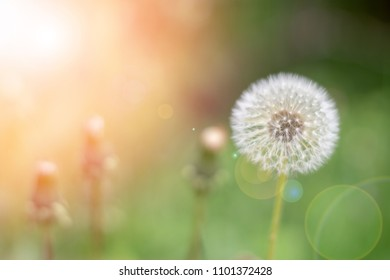 May flowers field of dandelion in garden in sunny day for wallpaper background. Spring begins in meadow, Mother's day in summer
