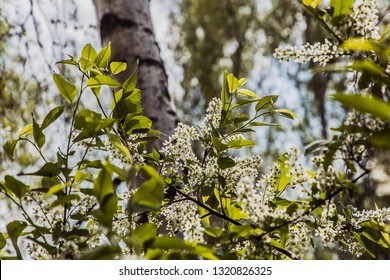 May landscape. Morning in the forest. Bird cherry blossoms. Bright, young, tender zeny trees. A lot of sun. Nature comes to life. - Shutterstock ID 1320826325