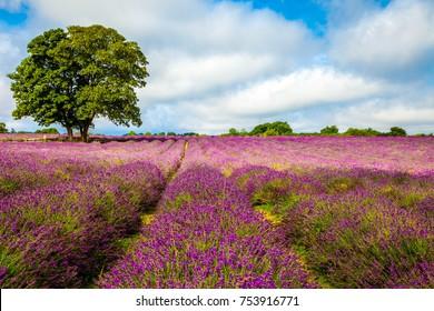 Mayfield Lavender Field
