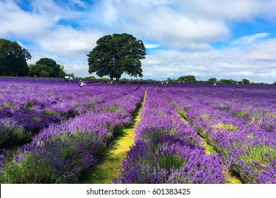 MAYFIELD, UNITED KINGDOM - JULY 16, 2016: Landscape view of lavender field with trees and tourists in the background
