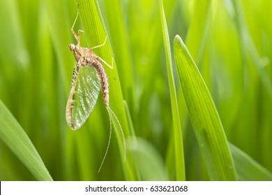 Mayflies (Ephemeroptera), sitting on the grass