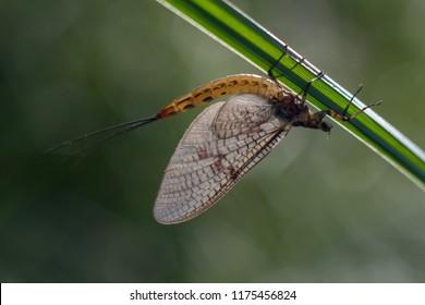 Mayflies, Poland, may 2018