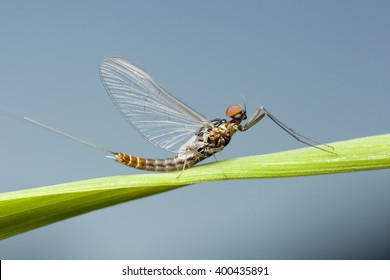 Mayfly, Adult, Czech Republic