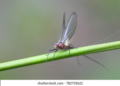Mayfly, also called shadfly ang fishfly