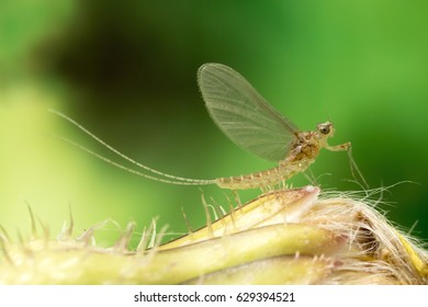 Mayfly close up. Mayfly only live a very short life as adult form, and do not eat in this stage.
