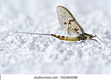 Mayfly, Ephemera danica