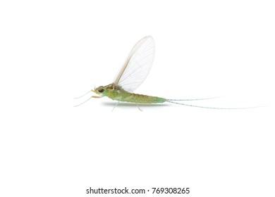 Mayfly, Ephemera danica isolated on white background