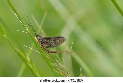 Mayfly (Ephemera vulgata)