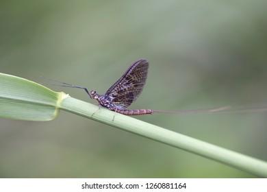 Mayfly, Ephemera vulgata, also called shadfly and fishfly