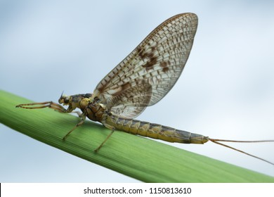 Mayfly, Ephemera vulgata on straw, this insect is often imitated by fly fishermen