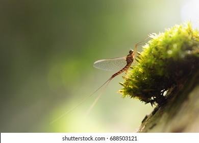 Mayfly (Ephemeroptera) close up sitting on tree moss and beautiful natural background