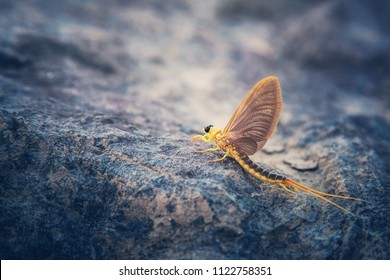 Mayfly hatching on the a stone and ready to fly away