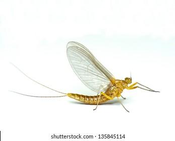 Mayfly, isolated on the white background