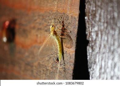 Mayfly at night