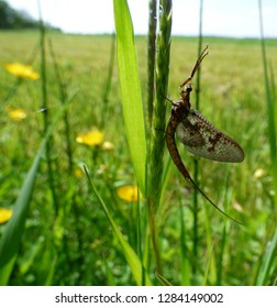 Mayfly on grasses in a meadow
