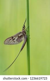 mayfly, [order Ephemeroptera]