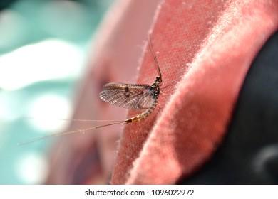 Mayfly resting - spring time UK