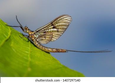 A Mayfly sitting on a leaf