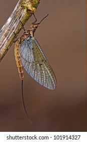 the mayfly that  may fly