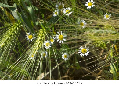 mayweed flowers between grass and weath spikes - simple beauty of the spring