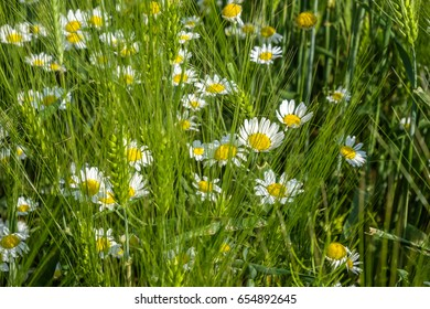 mayweed flowers in grass / simple beauty of the spring