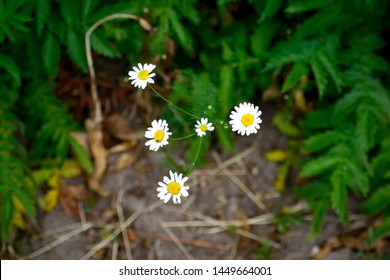 The mayweed (matricaria) grows in the forest
