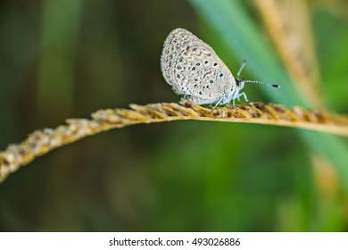 Mazarine blue butterfly macro.
