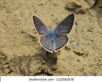 Mazarine blue butterfly, Polyommatus semiargus,