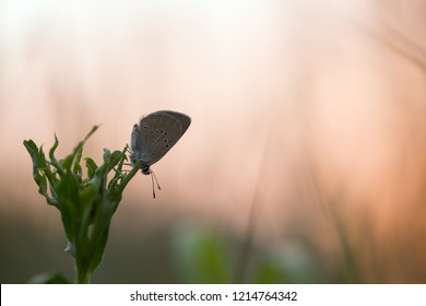 Mazarine blue, Cyaniris semiargus resting on plant in the rising sun