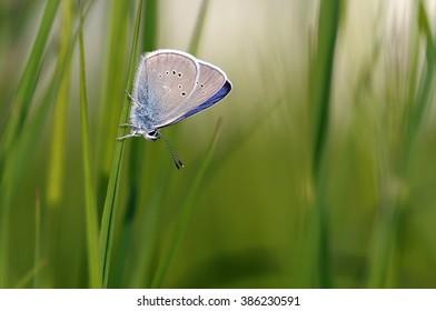 mazarine blue on culm