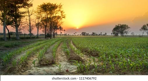 Maze field in Punjab