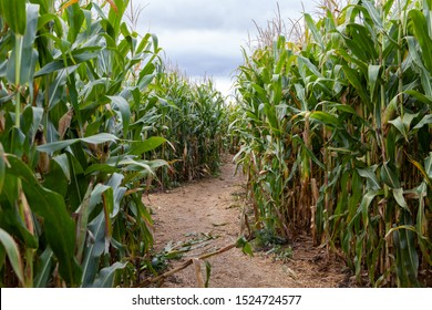 Maze, Labyrinth in green autumn corn field