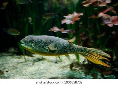 Mbu puffer, giant puffer, or giant freshwater puffer (Tetraodon mbu)