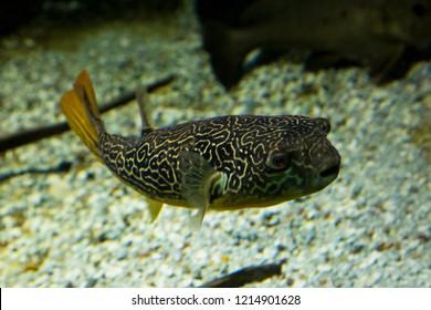 Mbu puffer, giant puffer, giant freshwater puffer (Tetraodon mbu).