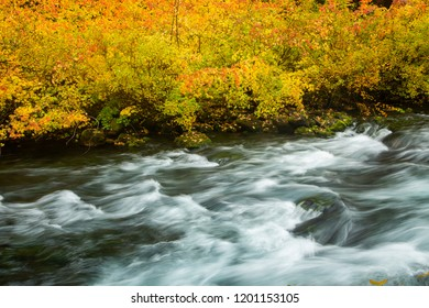 The McKenzie river and vine maple trees showing brilliant fall color in the Willamette  National Forest near McKenzie Bridge, Oregon.