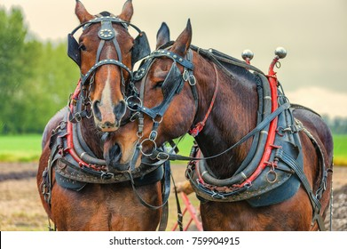 McMinnville, Oregon, USA - April 11, 2015: Close up of draft horses wearing their work harnesses and yokes at the Farm Fest & Plowing Competition