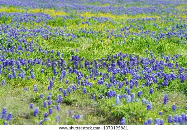 Meadow Along Ennis Texas Bluebonnet Trails Stock Photo Edit Now