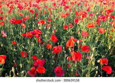 Meadow with beautiful bright red poppy flowers in spring.