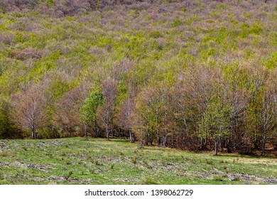 Meadow and beech trees in spring. Fagus sylvatica.
