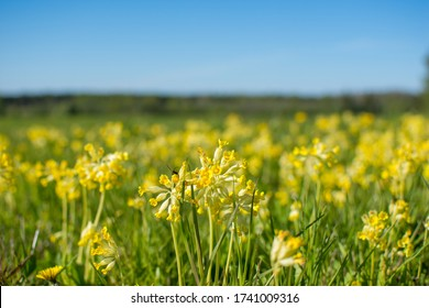 Meadow of blooming cowslips (primula veris), Latvia