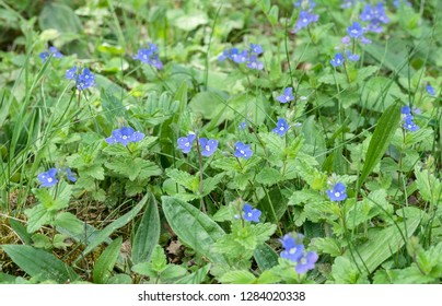 meadow with blue flowered speedwell