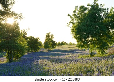 Meadow with Bluebonnet wildflowers blooming during spring time near Ennis, Texas.